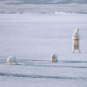 A mother polar bear and her two cubs navigate the newly forming and unstable ice of the Chukchi Sea.