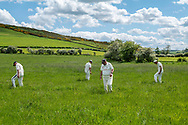 Wooler, Northumberland, England, UK. 5th June 2021. Players of Wooler Cricket Club look for a lost ball in a silage field after being hit for six.
