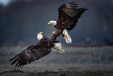 Bald eagles - Chilkat River, Chilkoot River, Alaska