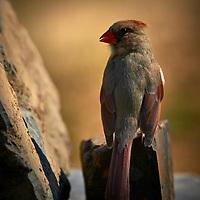 20180420-female cardinal