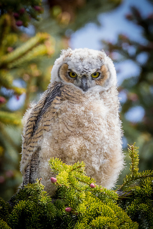 great horned owl baby, owlet