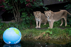 Embargoed to 0001 Thursday August 10 Asiatic lions at ZSL London Zoo play with a giant boomer ball as the zoo celebrates World Lion Day on August 10.