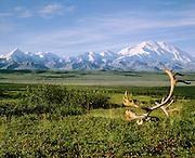 Denali National Park, AK, USA<br /> Mt. McKinley and The Alaska Range.<br /> Caribou Rack on the Tundra.<br /> Wonder Lake Area.