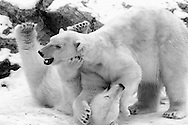 Schweden, SWE, Kolmarden, 2000: Zwei junge Eisbaeren (Ursus maritimus) beim spielerischen Kaempfen, Kolmardens Djurpark. | Sweden, SWE, Kolmarden, 2000: Polar bear, Ursus maritimus, play fighting of two sub-adult polar bears, Kolmardens Djurpark. |