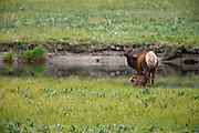 An Elk cow with newborn calf, Yellowstone National  Park, Wyoming.