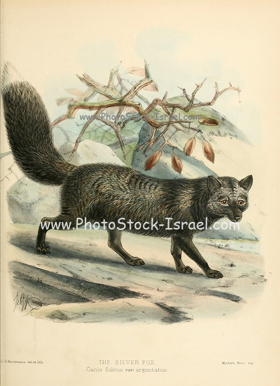 """The silver fox is a melanistic form of the red fox (Vulpes vulpes [Here as Canis fulvus]). Silver foxes display a great deal of pelt variation. Some are completely glossy black except for a white colouration on the tip of the tail, giving them a somewhat silvery appearance. Some silver foxes are bluish-grey, and some may have a cinereous colour on the sides. From the Book Dogs, Jackals, Wolves and Foxes A Monograph of The Canidae [from Latin, canis, """"dog"""") is a biological family of dog-like carnivorans. A member of this family is called a canid] By George Mivart, F.R.S. with woodcuts and 45 coloured plates drawn from nature by J. G. Keulemans and Hand-Coloured. Published by R. H. Porter, London, 1890"""