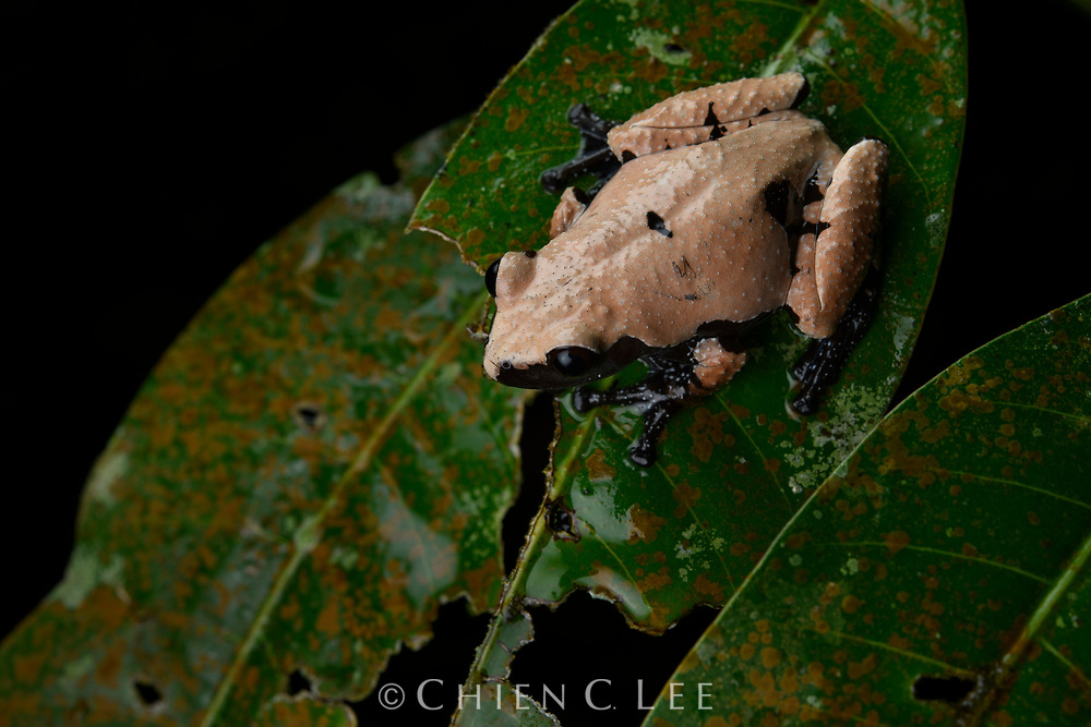 The Warted Frog is a rare species in Borneo, known from only a handful of sightings in the northwest. It is presumably a tree-hole breeder as in other Theloderma. Sarawak, Malaysia (Borneo).