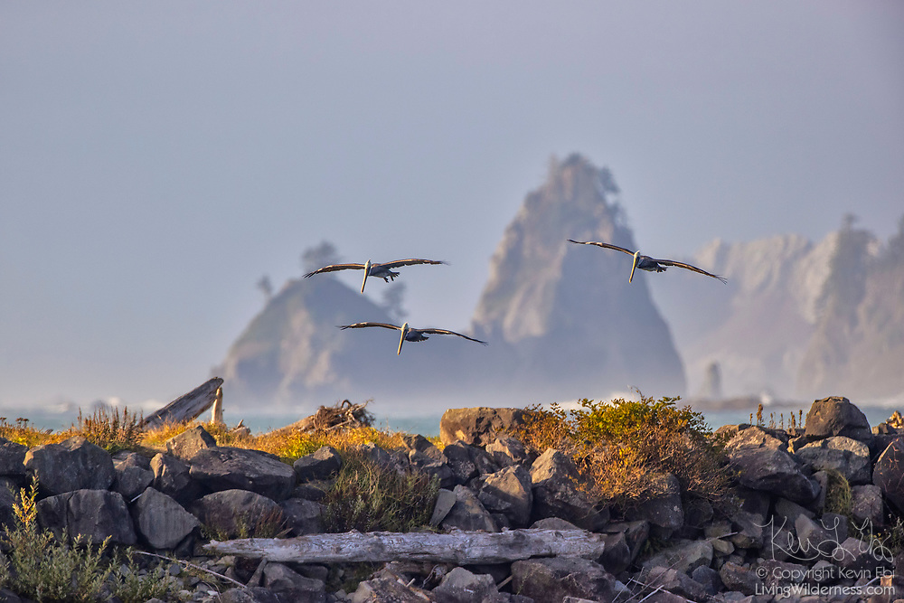 Three brown pelicans (Pelecanus occidentalis) in their nonbreeding plumage hunt for fish in the water of the Pacific Ocean against a backdrop of rugged sea stacks in this view from First Beach in Olympic National Park near La Push, Washington.