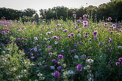 Early morning at Green and Gorgeous with Centaurea moschata - Sultan flower, Sweet sultan - in the foreground.