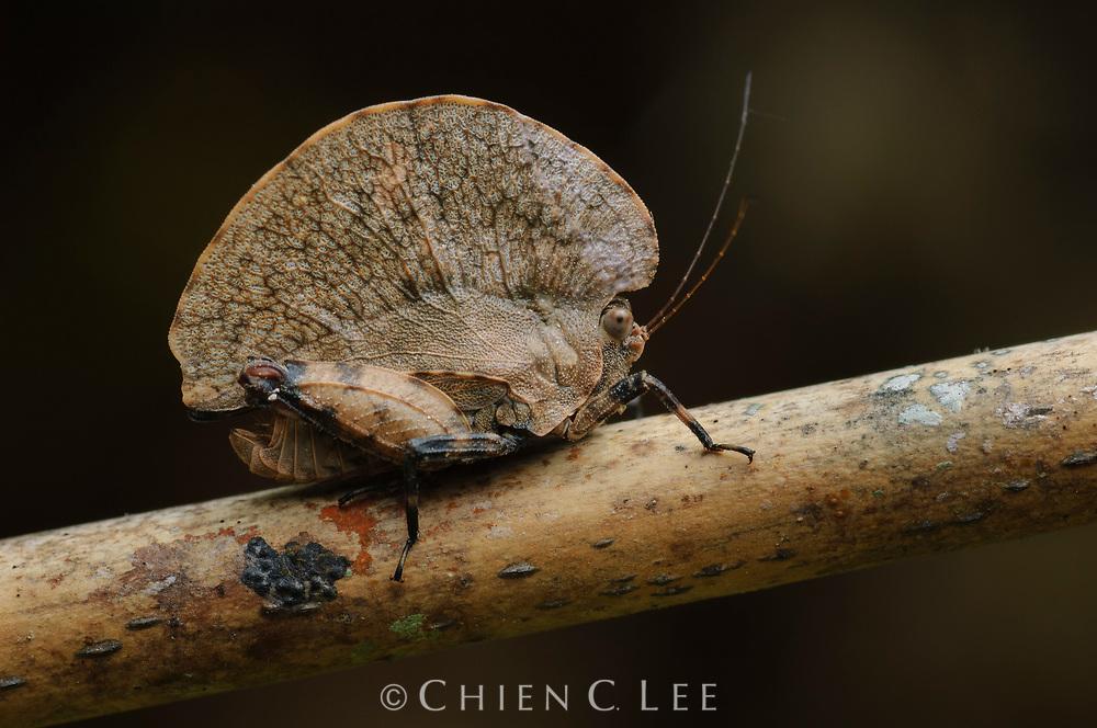 Pygmy grasshopper (Paraphyllum antennatum) mimicking a winged seed. Sarawak, Malaysia (Borneo).