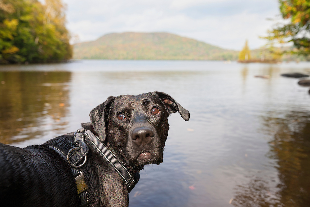 Black mixed breed dog waiting  and watching for a command in McKenzie Pond