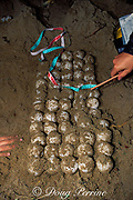 volunteers count eggs removed from nest of Australian flatback sea turtle, Natator depressus, Curtis Island, Queensland, Australia