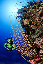 Ellisella sp., Korallenriff mit Taucher an Steilwand mit Gelber Besengorgonie, Coralreef with Yellow whip coral and scuba diver, Abu Fandera, Rotes Meer, Süd Ägypten, Red Sea, South Egypt