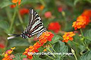 03006-003.01 Zebra Swallowtail (Eurytides marcellus) on Red Spread Lantana (Lantana camara) Marion Co.  IL