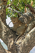 Leopard rests in a sausage tree in Tanzania, Africa