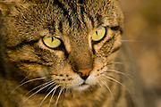 Close up of a cat with yellow eyes