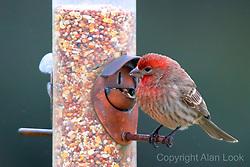 House Finch (Haemorhous mexicanus)