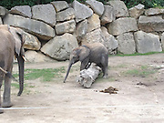 Ouch! Now I feel silly: Baby elephant lands on his trunk after tripping over log at Vienna Zoo<br /> <br /> When you're a baby elephant there's much to learn. <br /> For instance, some logs you can simply step over – and some are so big it's best to go round them.<br /> Unfortunately for this little one at Vienna Zoo, mum was too busy to offer any advice, so he had to learn the hard way, tripping up and landing, rather uncomfortably, on his trunk.<br /> The Schönbrunn zoo in Vienna is the world's oldest animal conservation facility and is also a UNESCO World Heritage Site.<br /> Last month, the zoo announced that one of their elephants had become pregnant from frozen sperm.<br /> Scientists succeeded for the first time in impregnating an elephant with frozen sperm, ultrasound pictures presented by the zoo showed.<br /> The scan showed a 10.6-centimetre-long (4.2 inch), five-month-old elephant foetus with its trunk, legs, tail, eyes and ears clearly discernible.<br /> <br /> The foetus, which was scanned in April, is likely now 20 cm long, the zoo said, and is due to be born to 26-year-old African elephant Tonga in or around August 2013 after a pregnancy of about 630 days.<br /> Elephants have been impregnated with fresh or refrigerated sperm in the past in an effort to protect endangered species, but frozen sperm can be transported further, and allows the female elephant to be inseminated at her most fertile time.<br /> A zoo spokeswoman said the sperm was taken from a sedated wild elephant in South Africa using electroejaculation in the project known internally as 'Operation Frozen Dumbo'.<br /> It took eight months to clear customs on its way to France due to lack of an established procedure for such wares.<br /> The project was a joint effort of Schoenbrunn Zoo, Berlin's Leibniz Institute for Zoo and Wildlife Research, France's Beauval Zoo and Pittsburgh Zoo in the United States.<br /> Both African and Asian species of elephant are endangered, especially the Asian, mainly due to poaching for meat and ivory tusks and destruction of their habit