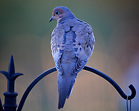 Mourning Dove. Image taken with a Nikon D5 camera and 600 mm f/4 VR lens (ISO 1600, 600 mm, f/4, 1/640 sec).