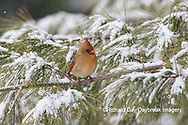 01530-22910 Northern Cardinal (Cardinalis cardinalis) female in pine tree in winter snow Marion Co. IL