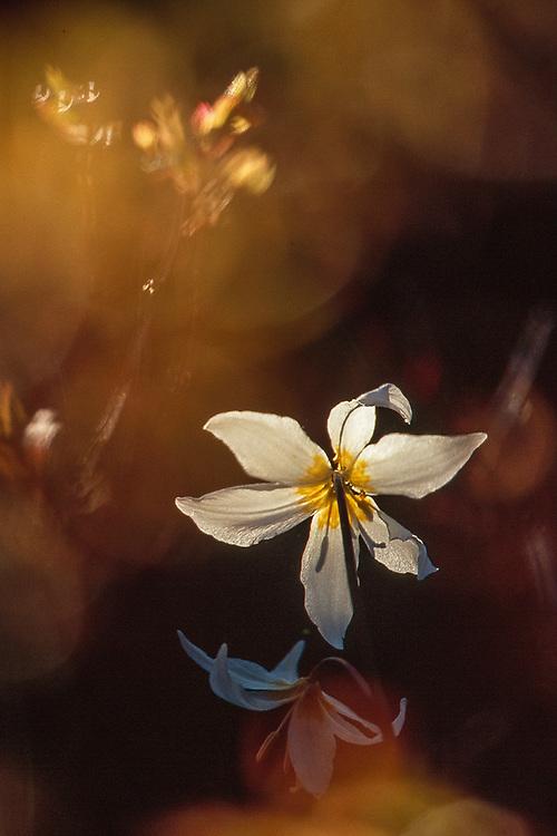 Avalanche lily (Erythronium montanum), evening light, July, alpine meadow, Olympic National Park, Washington, USA