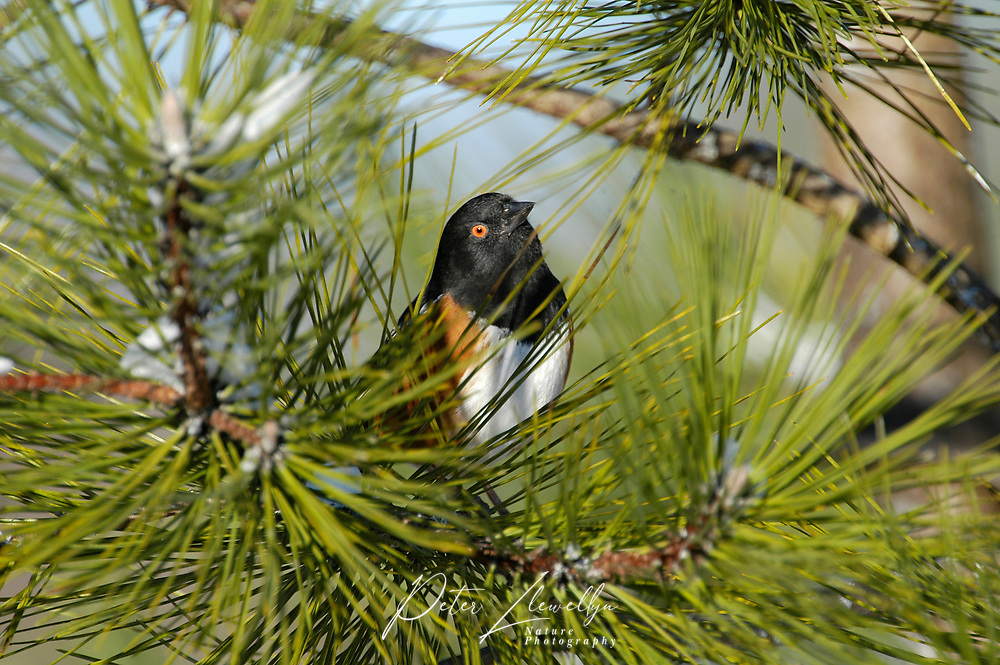 Spotted Towhee (Pipilo maculatus), in fir tree, Courtenay, Vancouver Island, Canada   Photo: Peter Llewellyn