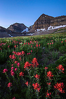 Indian Paintbrush wildflowers bloom into a brillian red in the basin below the peak of Mt. Timpanogos during the warm Summer months.