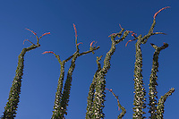Ocotillo (Fouquieria splendens) against the blue sky in Anza-Borrego Desert State Park, California, USA
