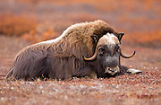 Alaska. Young Muskox (Ovibos moschatus) bull resting on the tundra during the autumn breeding season on the Seward Peninsula, outside of Nome.