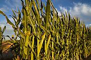Stalks of corn grow in a field.