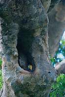 Knobbed Hornbill (Aceros cassidix) chick peering out from the nest cavity..Tangkoko Batuangus/Dua Saudara Nature Reserve, Sulawesi Island, Indonesia.