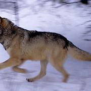 Gray Wolf, (Canis lupus) Adult Winter. Running. Montana.  Captive Animal.