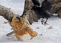 Lammergeier; Gypaetus barbatos; Carrion Crow; Corvus corone corone, Cebollar, Torla, Aragon, Spain.