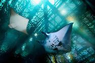 JPN, Japan: Okinawa Churaumi Aquarium, Manta Rochen (Manta birostris) re. und Javanesischer Kuhnasenrochen (Rhinoptera javanica) li., über ihnen die Stahlkonstruktion des Aquariums sichtbar, Ocean Expa Park, Okinawa, Okinawa | JPN, Japan: Okinawa Churaumi Aquarium, Manta ray (Manta birostris) right side and Javanese cownose ray (Rhinoptera javanica,) left side, steel construction of the aquarium visible, Ocean Expo Park, Okinawa, Okinawa |