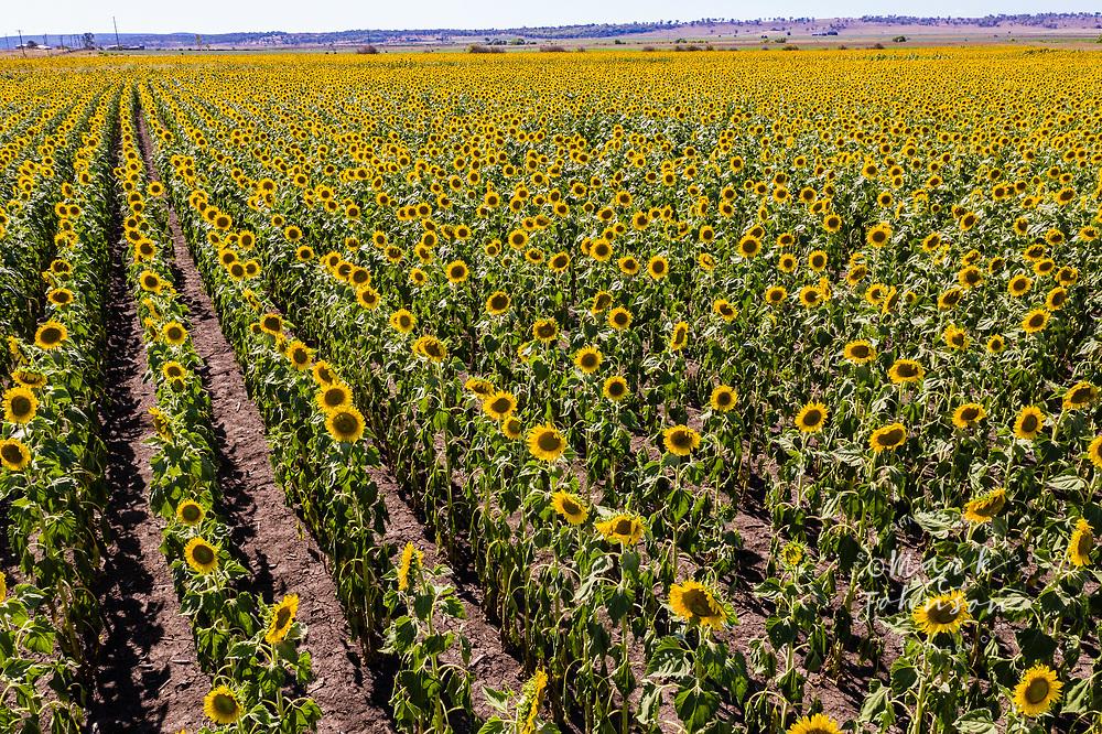 Sunflowers growing near Warwick, Darling Downs, Queensland, Australia