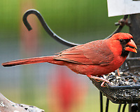 Northern Cardinal. Image taken with a Nikon D5 camera and 200-500 mm f/5.6 VR lens.