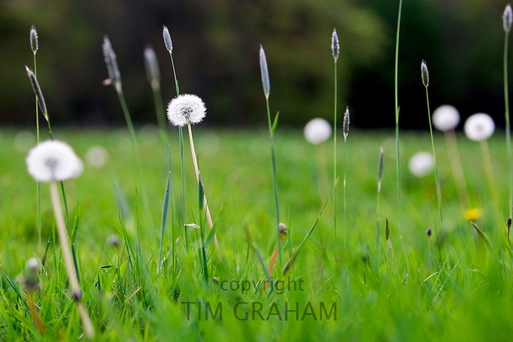 Dandelions and dandelion clocks, England