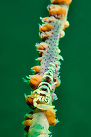 Whip coral shrimp, Pontonides uncigar, Bluff Island, south of Sai Kung Peninsula of Hong Kong, China.<br /> This Image is a part of the mission Wild Sea Hong Kong (Wild Wonders of China).