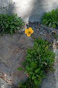 wild yellow Poppy Photographed in Switzerland in September