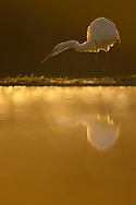bird; Great White Egret; wjite; egret; water, reflection; warm; orange; light; sunrise; morning; Egretta alba or Ardea alba, at Pusztaszer protected landscape, Kiskunsagi, Hungary