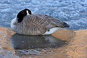 Canada goose on ice. Seine River. Branta canadensis<br /> Winnipeg<br /> Manitoba<br /> Canada