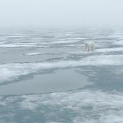 A polar bear on the pack ice near Svalbard, Norway.