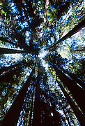 Montgomery Woods in Mendocino County California are home to the world's tallest trees, California Coastal Redwoods.