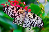 Butterflies, Key West Butterfly & Nature Conservancy, Key West, Florida Keys, Florida USA