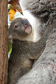Taronga Zoo is celebrating the arrival of its first koala joey for this year's breeding season
