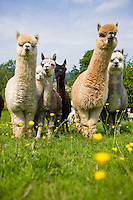 small group of alpaca in a cumbrian farm