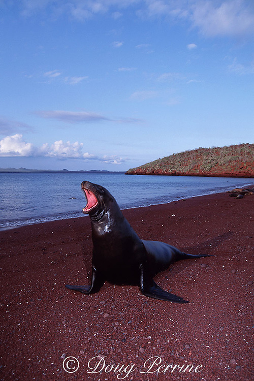 Galapagos sea lion, Zalophus wollebaeki, endemic and endangered species, Galapagos Islands, Ecuador ( Eastern Pacific Ocean )