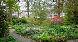 The wooodland garden at Bosvigo in early spring. Planting includes Acer palmatum 'Corallinum' AGM, erythroniums, hellebores, epimediums and narcissus