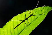 Stick Insect, Phasmatidae, backlight on leaf, Sinharaja World Heritage Site, Sri Lanka,