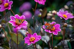 Peacock butterfly and tortoiseshell butterflies on Dahlia Happy Single Juliet syn. 'Hs Juliet'  - Happy Single Series